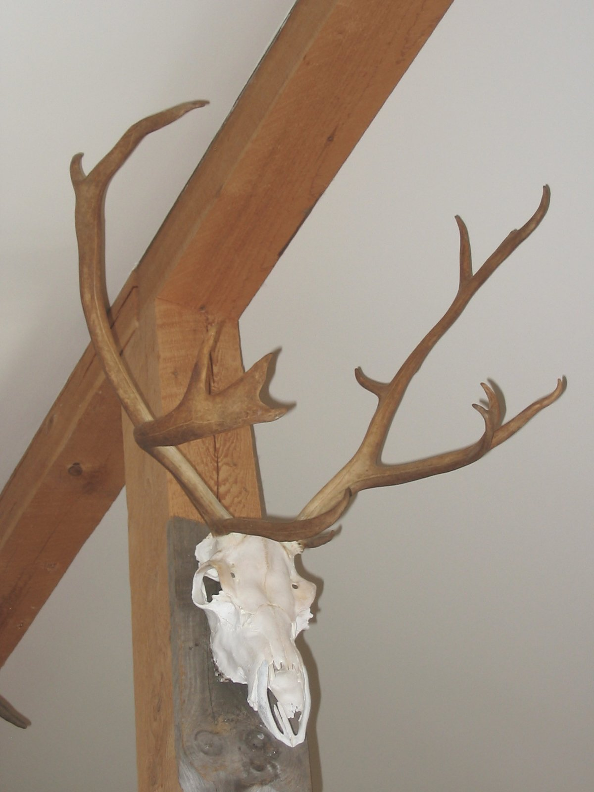 European Mount, Woodland Caribou